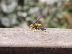 Taiwanese combat wasp :-) (photo by Marketa)
